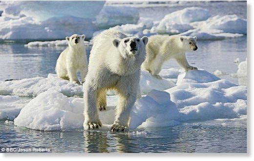 A polar bear and two cubs ready to spring into the ice-cold waters