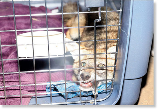 The golden jackal after it was rescued in Vikhroli.