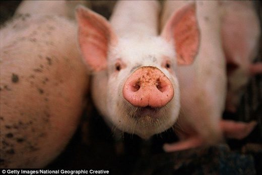 Pigs implicated in Ebola virus