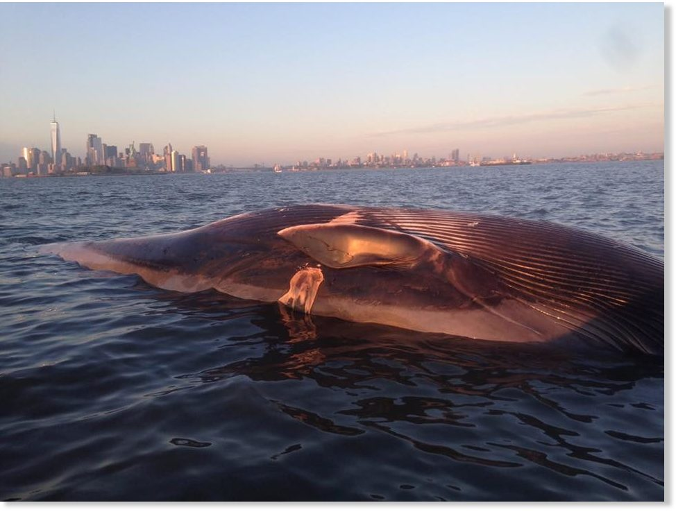 Dead whale found off Jersey City coast, New York -- Earth ...