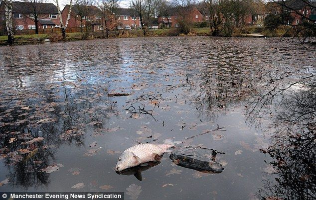More mass animal deaths hundreds of fish meet an icy end for Pool koi manchester