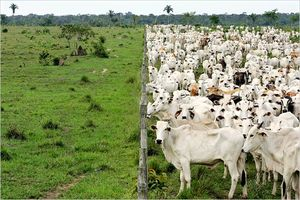 cattle @ fence