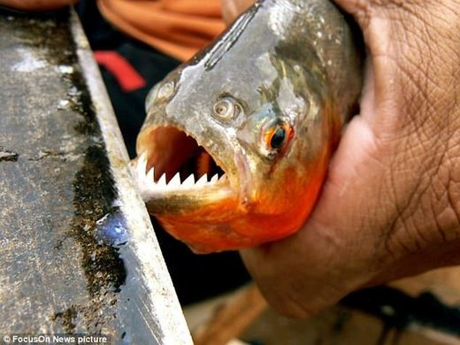 Dozens of bathers savaged in a wave of horrific piranha attacks near resorts in Brazil
