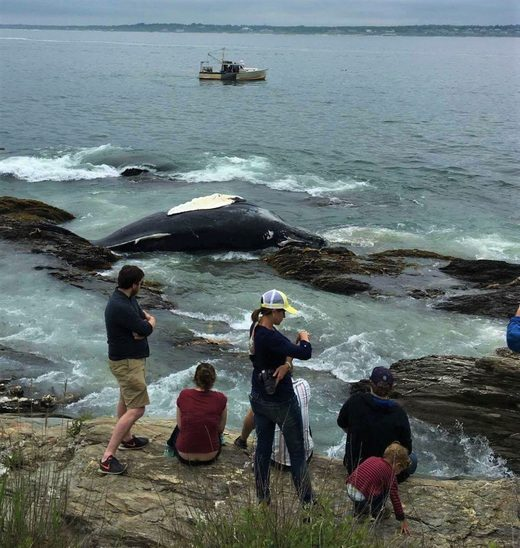 Dead humpback whale washes ashore at Beavertail State Park, Rhode Island