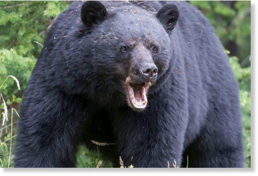 PROD_A_black_bear_Ursus_americ.jpg