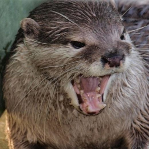 River otter boards boats and bites 2 people in Monongalia County, West Virginia