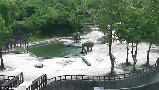 Elephants spring into action to save drowning calf at South Korea zoo