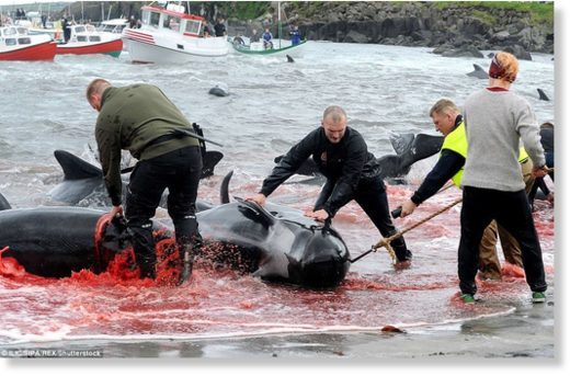 A group of fishermen worked together to pull the whales onto the shore after they had just been slaughtered during the annual event