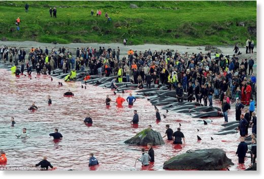 Hundreds of people gathered on the beach to witness the hunt, known as the grindadrap, and many of the people ended up in the water