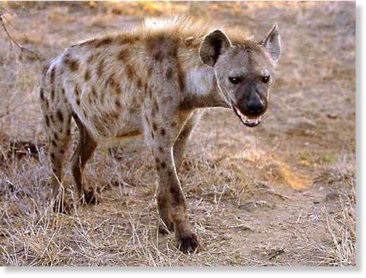 hyena_knp01_g.jpg