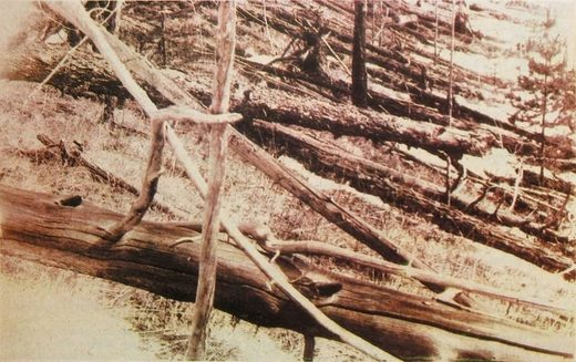 Trees flattened by the Tunguska blast
