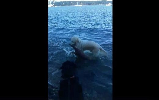 Golden retriever rescues drowning fawn off Long Island beach