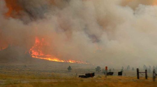 Cattle are seen near the flames of the Lodgepole Complex fire in Garfield County, Montana