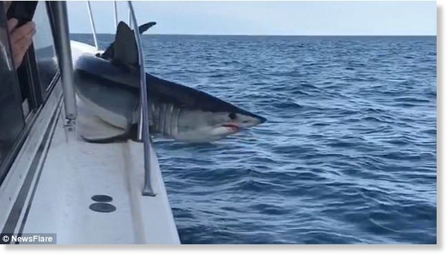 Mako shark jumps on board fishing boat off long island new york the mako shark writhes around on the deck of the boat with its body trapped beneath publicscrutiny Gallery