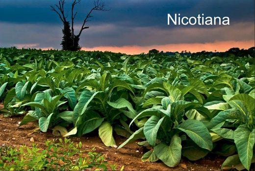 nicotiana - Tobacco - Smokin' the propaganda peddlers