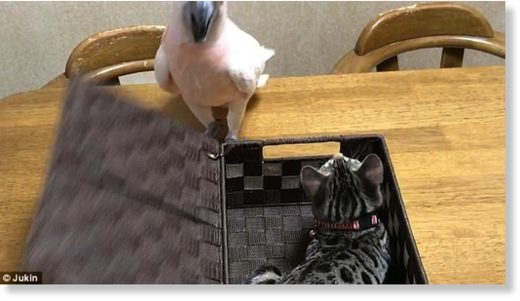Peekaboo! Footage from Nagoya, Japan, shows the bird, named Karin, using her beak to prize open a wicker basket - revealing Koume the cat