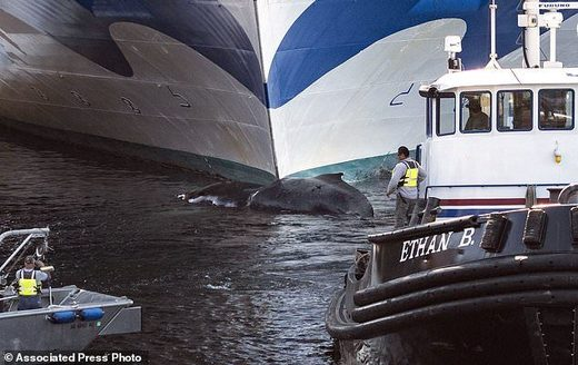 Dead whale found on the bow of cruise ship entering Ketchikan, Alaska