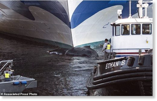 A dead humpback whale was pulled from the bow of the Grand Princess cruise ship Wednesday in Ketchikan, Alaska