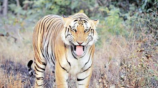 Tiger kills another farmer in Uttar Pradesh, India; 3rd local victim in 4 days, 7th in 3 months