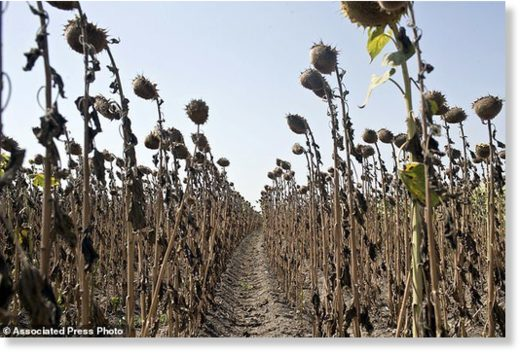 Sunflowers decimated by drought are seen in a field in Padina, Serbia