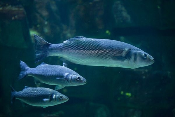 Ocean noise pollution makes fish more vulnerable to for What sound does a fish make