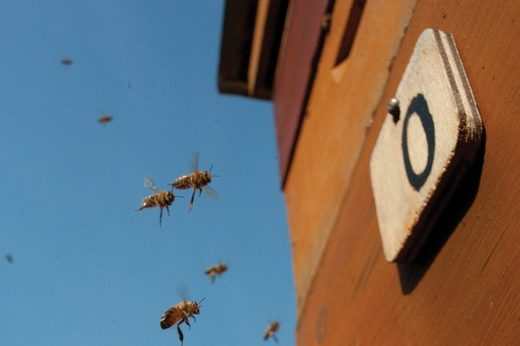 Zeroing in: Bees are the first insects shown to understand the concept of zero