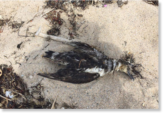 A dead great shearwater recently found on a Block Island beach.