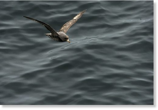 A northern fulmar flies just above the water near the Aleutian Islands in 2015.