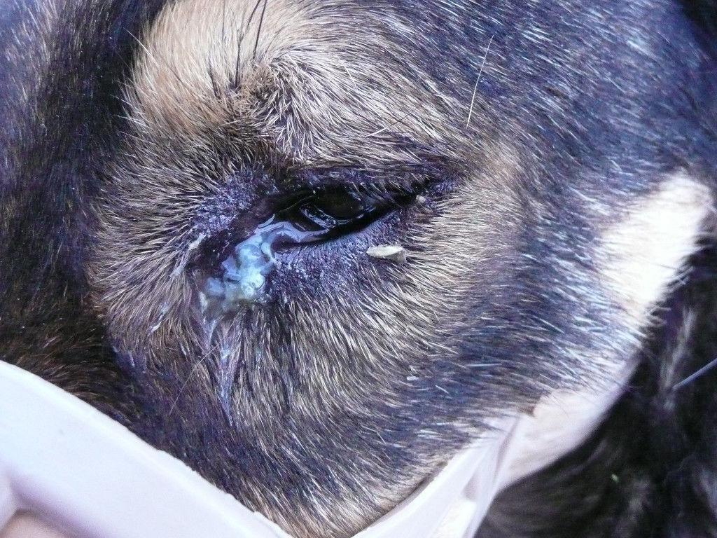 Собака Похудел Глаза Гноятся.