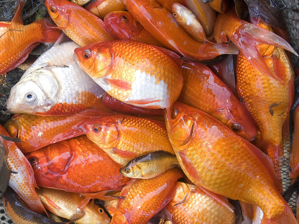 Thousands of monster sized goldfish culled from canadian for Pond fish species