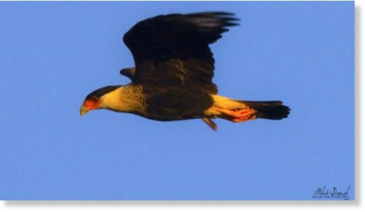 A photo taken by Mitch Doucet of a crested caracara.