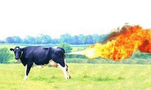 Cow releases methane