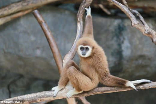 Gibbon similar to last common ancester humans apes