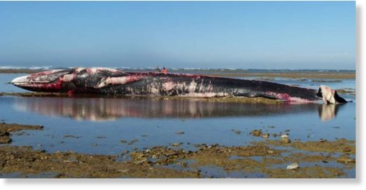 This fin whale was found stranded on a beach of the Ile-de-Ré, on October 25, 2017