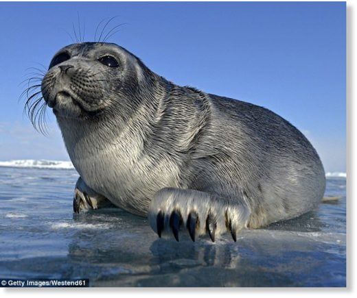 Baikal Seals (pictured) are an exclusively freshwater species of seal that occur in Lake Baikal in southern Siberia, Russia,