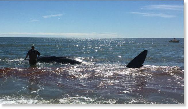 Beached Whale At Oak Island