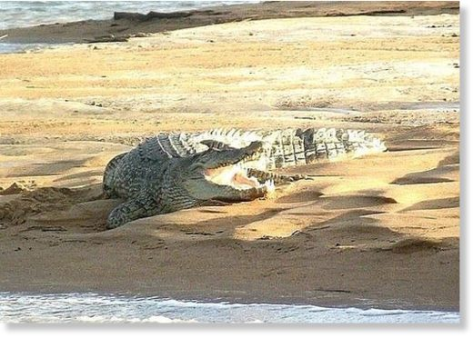 Local authorities expected a backlash from crocodiles (pictured) after one was shot this year