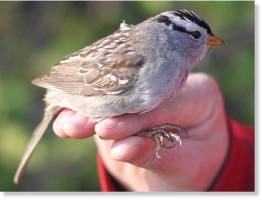 A white crested sparrow is seen in this undated handout photo. Research suggests that two of Canada's most commonly used pesticides cause migrating songbirds to lose both weight and their sense of direction.