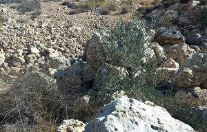 young olive tree west bank israel palesting
