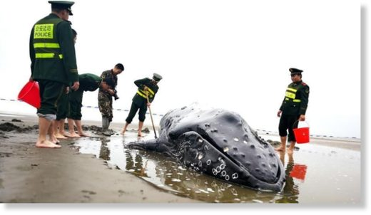 The humpback whale calf was first found stranded on the shore near Qidong city, Jiangsu Province on Monday.
