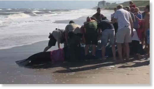 Stranded whale reported near Juno Beach pier