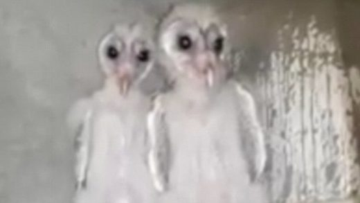 Take me to your feeder: Birds with spooky dark eyes mistaken for aliens turn out to be barn owls