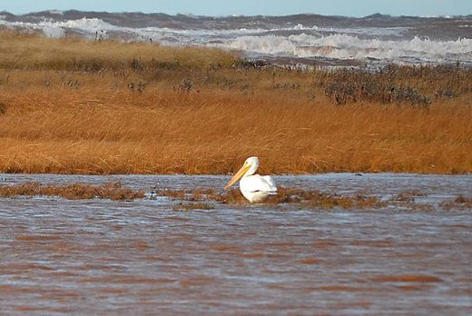Wrong place, wrong time: American white pelican turns up on Prince Edward Island, Canada