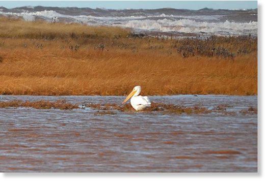 An American white pelican in Black Pond, Pleasant View on Thursday. The bird, although rare to P.E.I. was first sighted Wednesday.