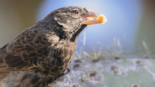 Galapagos finches evolve into new species