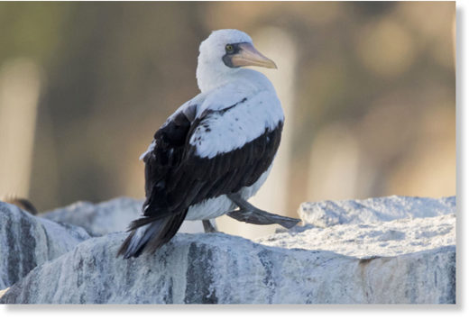In this Monday, Nov. 27, 2017 photo provided by Mark Girardeau and Dana Wharf Whale Watching, a rare Nazca Booby is seen at the harbor in Dana Point, Calif