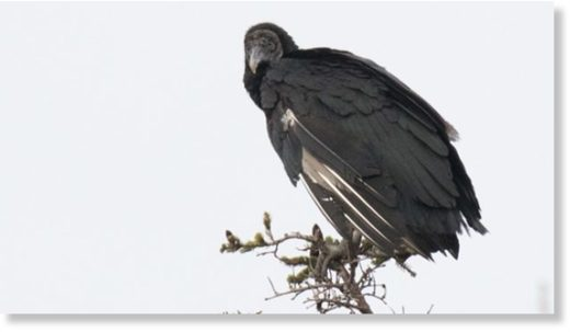 This Black Vulture was first spotted in Burgeo on Nov.18.