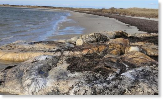 The remains of a North Atlantic right whale found this week on Nantucket, Mass.