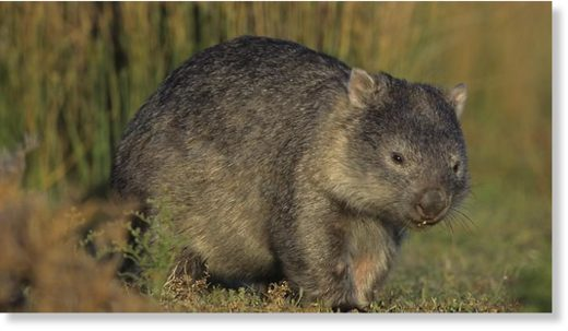 A rogue Tasmanian wombat has had to be put down after one person was hospitalised from an attack.