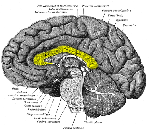 diagram Split Brain Surgery Corpus Callosum